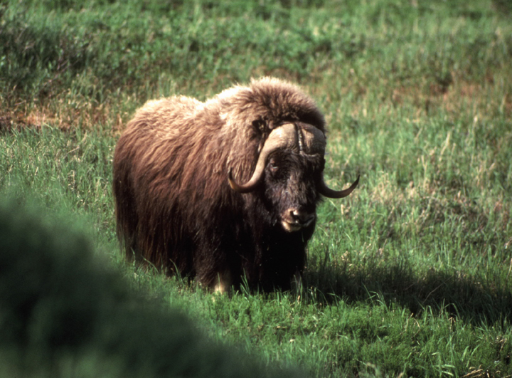 A wholly, brown, burly  muskox poses for a photo in the Nunivak Wilderness.